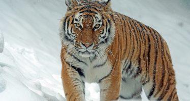 Adecuación de un parque para proteger al tigre siberiano en Rusia