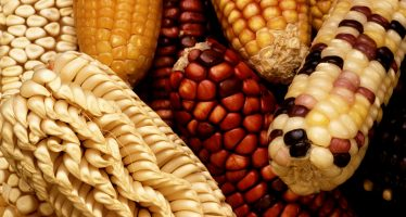 Reportan presencia de glifosato cancerígeno en muestras de harinas de maíz de MASECA en México y otros países