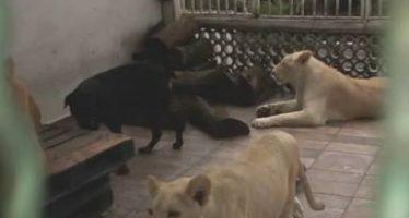 Poseedor de tres felinos en domicilio de Ciudad de México negó su entrega a inspectores de la PROFEPA