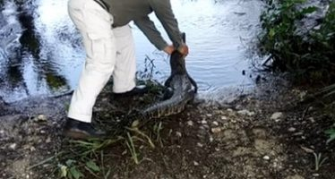 Liberan una tortuga blanca rehabilitada y un cocodrilo en su hábitat