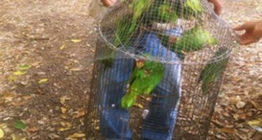 Liberan 11 pericos considerados especies sujetas a protección especial