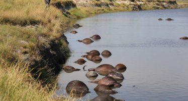 El extraño ahogamiento de 400 búfalos en la frontera entre Namibia y Botsuana