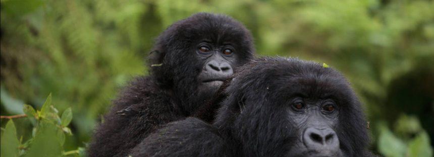 El gorila de montaña sale del peligro crítico