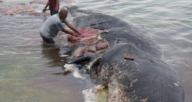 Encuentran una ballena muerta en Indonesia con más de 1.000 objetos de plástico en el estómago