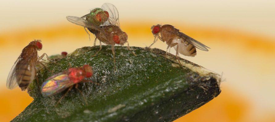 Las preferencias sexuales de las moscas indican que tienen cultura