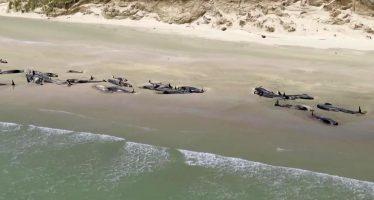 Más de 140 ballenas piloto mueren en un encadenamiento 'desgarrador' en Nueva Zelanda