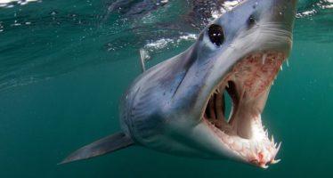 El tiburón más rápido del mundo apresurándose hacia la extinción