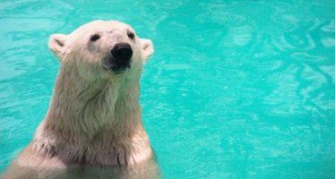 Fallece la osa polar Yupik a los 27 años