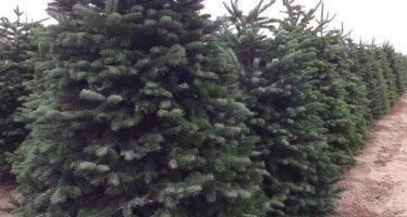Da inicio programa de verificación e inspección a la importación de árboles de Navidad, temporada 2018