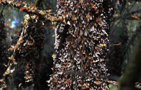 Abren los santuarios de mariposa monarca en Estado de México y Michoacán