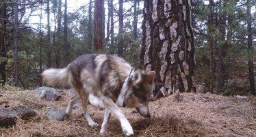 En recuperación de la población de lobo mexicano