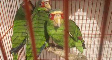 Aseguran 31 aves canoras y de ornato en domicilio de la Ciudad de México