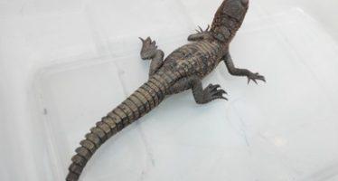 Rescatan cocodrilo abandonado en oficina pública