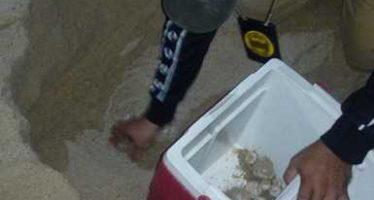 Son resguardados 103 huevos de tortuga Laúd durante operativo de vigilancia de desove