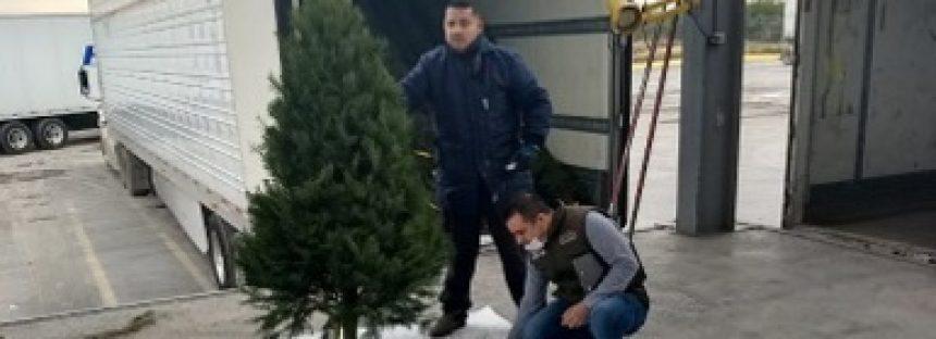 Detienen cargamento de 2,140 árboles de navidad con plaga forestal