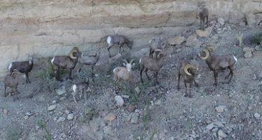 Refuerzan acciones de vigilancia en hábitat de borrego cimarrón para evitar su cacería