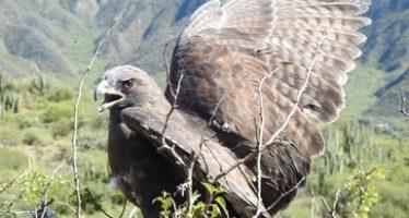 Reintegran tres aguilillas cola roja en la Reserva de la Biósfera de Meztitlán, Hidalgo
