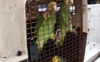 Rescatan nutria y aseguran a cuatro loros cabeza amarilla en peligro de extinción