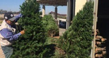 Inspeccionan más de 226 mil árboles de navidad importados, provenientes de Estados Unidos