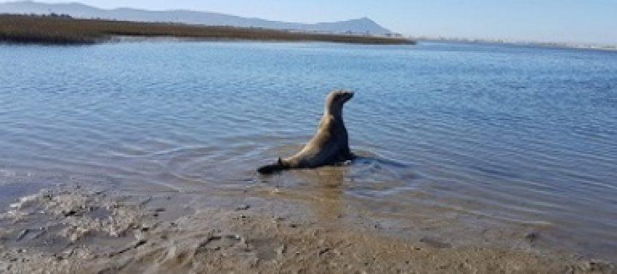 Rescatan y reubican a ejemplar de lobo marino varado en Ensenada