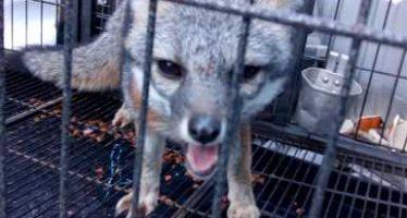 """Rescatan y liberan a una zorra gris en el Parque Nacional """"Cumbres de Monterrey"""""""