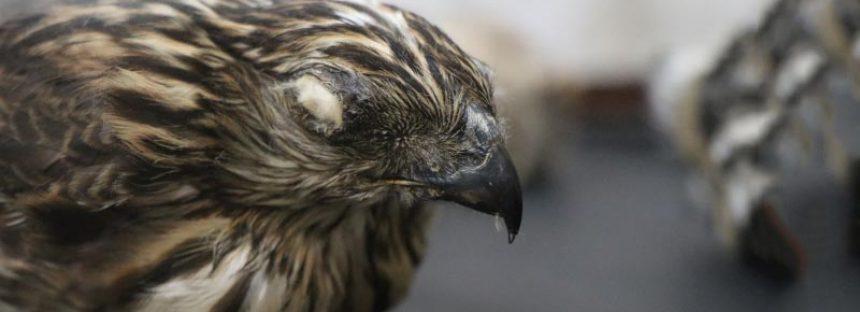 Histora natural de las aves en Michoacán