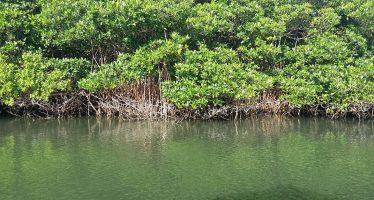Reserva de carbono azul de los manglares mexicanos