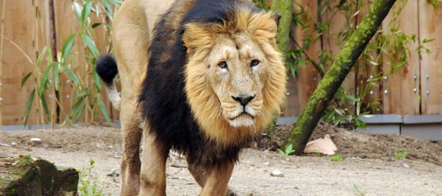 Tres leones de una subespecie en peligro de extinción mueren arrollados en India