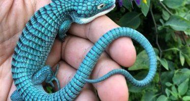 El 'dragoncito azul': una especie mexicana en peligro de extinción