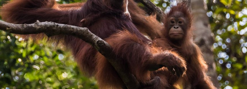 Las orangutanas hablan del pasado a sus crías