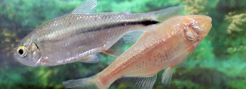 Un pez mexicano ciego y albino, clave para la investigación sobre enfermedades cardiovasculares