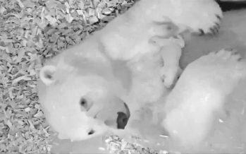 Inquietud en el zoo de Berlín por la salud de un oso polar recién nacido