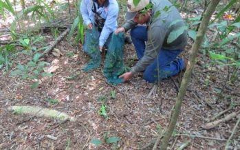 Liberan 63 ejemplares de iguana verde en la zona núcleo de la Reserva de la Biosfera la Encrucijada