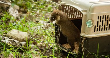 Reintegran a su hábitat a tres tejones