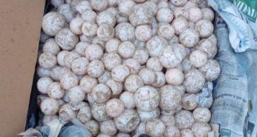 Detienen a una persona en posesión de 7,500 huevos de tortuga