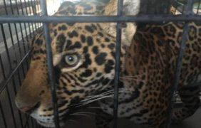 Aseguran jaguar que escapó de domicilio quedando en resguardo de zoológico