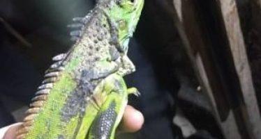 Aseguran a una cría de cocodrilo, dos iguanas y una tortuga de concha blanda en comercio informal