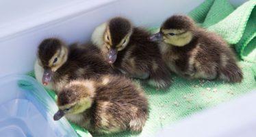 Refugios seguros para el pato más raro del mundo
