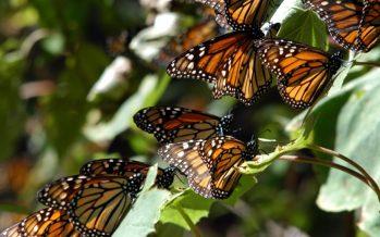 Mariposas monarca migratorias montan en los vientos fuertes