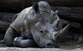 """""""Celebramos un servicio conmemorativo"""": el guardián del último rinoceronte blanco del norte masculino"""
