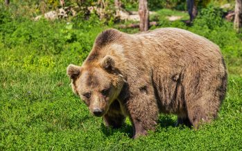 Beato, el caso más exitoso de reincorporación de un oso pardo a su hábitat