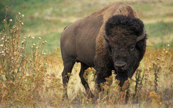 Cómo las tribus nativas americanas están recuperando el bisonte al borde de la extinción