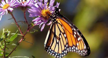 'Es una triste realidad': una tendencia preocupante ve una disminución del 97% en las mariposas monarca