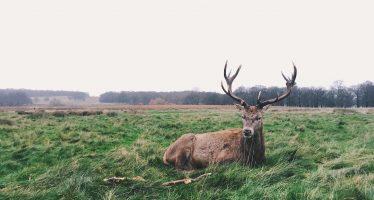 Dos guardas forestales holandeses se niegan a sacrificar ciervos sanos en una reserva natural