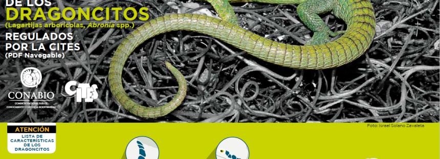 Guía de identificación de los dragoncitos (Lagartijas arborícolas, Abronia ssp.)