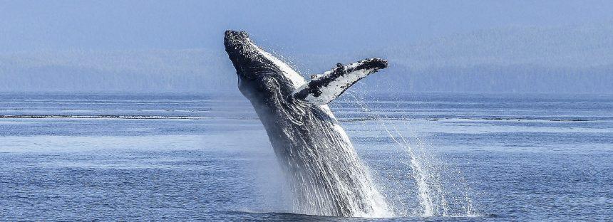 ¿Se creará, por fin, el santaurio para ballenas en el Atlántico Sur?