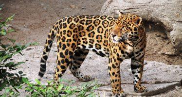 Jaguares en riesgo si Tren Maya no cumple con ley ambiental