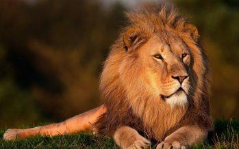 Un león se escapa y mata a una trabajadora de un zoo en EE UU