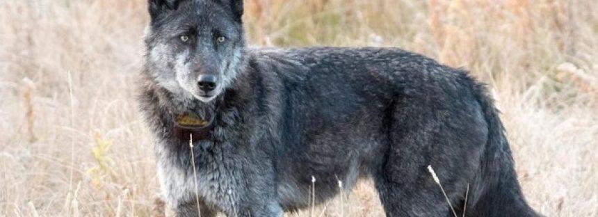 La loba más famosa de Yellowstone muere tras ser abatida por un cazador