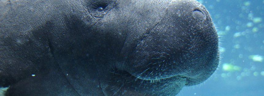 Atienden reporte de un manatí muerto en Tabasco